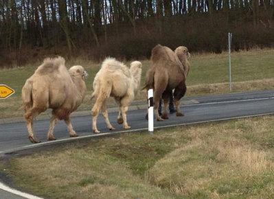 schauenburg kamele 12022014